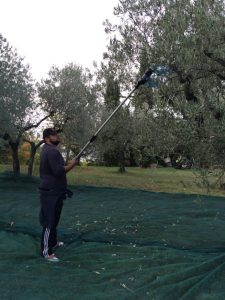 A worker using a motorized, plastic blade to clear olives at Casa Gola.