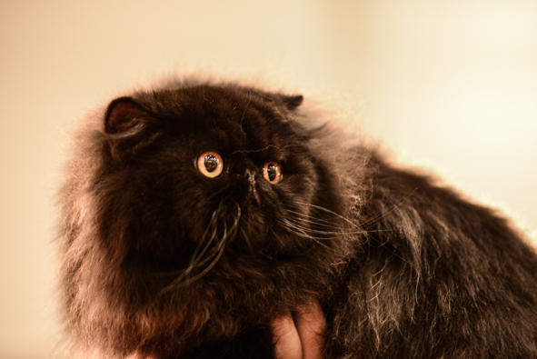 These black Persians are nothing but fur and eyes. Photo by Marina Pascucci.