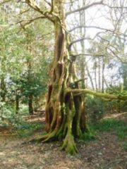 John-Horsey-Metasequoia-glyptostroboides