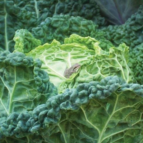 Frog on a Cabbage