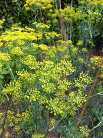 We only ever planted Dill once. It's like a weed, only very tasty in salads.