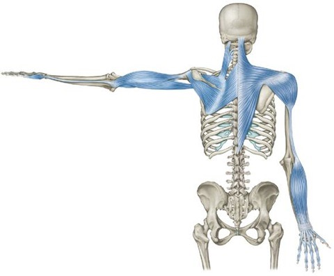 These images are from Anatomy Trains and show how the connective tissue and muscle form integrated structures that run throughout the whole body, rather than isolated parts that work independently.