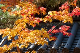 Autumn leaves highlighted against temple roof - Kyoto.
