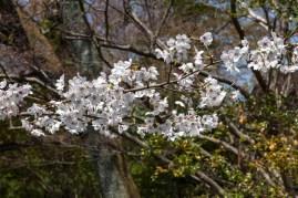 Cherry Blossom - Kyoto - Heian Shrine pic 3