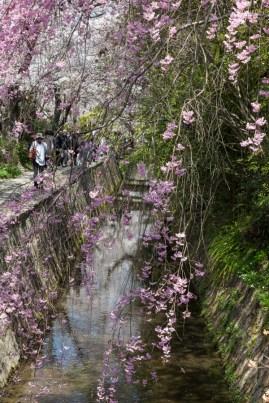 Cascading Sakura along Philosopher's Path