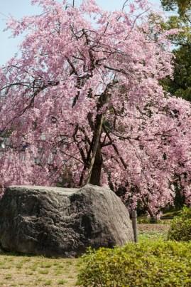 Old Sakura in a Kyoto Park