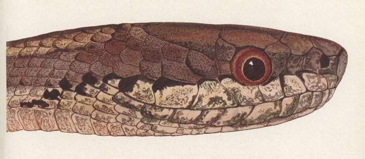 ICM Galapagos Snake head