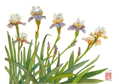Several Irises - Watercolor - 11 x 15 inches