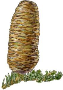 Abies concolor cone