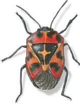B Murgantia histrionica