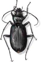 C Nebria rathvani (black)