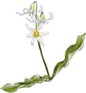 Erythronium purpurascens