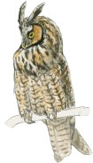 Owl long eared 2