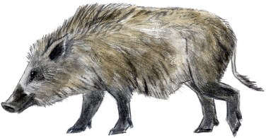 Pig wild adult