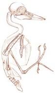 Piliated woodpecker skelaton