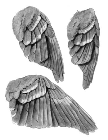 Thrush wings