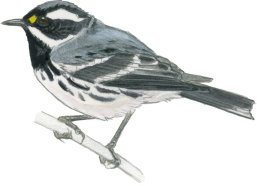 Warbler Black-throated Gray