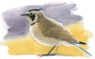 lark horned color