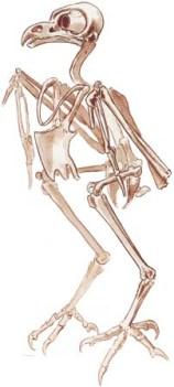 skelaton owl