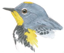 warbler audubons head