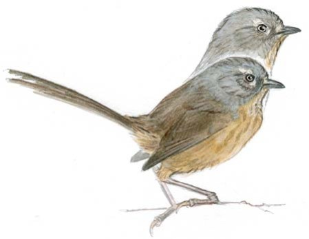 wrentit neck stretch