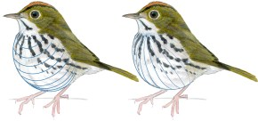 ovenbird longitude and latitude