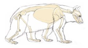 Bear skeleton showing plantigrade stance. As the animal walks, it will roll onto the pad of the foot but when bearing full weight, the full sole of the foot is on the ground. Note the elbow and knee at the level of the belly.