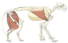 The latissimus dorsi is a broad muscle that originates along the spine and rib cage and inserts into the forearm (humerus). This muscle makes a distinct ridge on the side of the body of the lion.