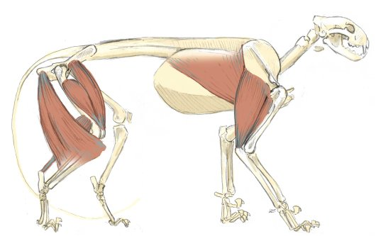 The triceps brachialis is the large muscle at the back of the upper arm. It originates along the base of the shoulder blade and the humerus and inserts into the tip of the ulna at the elbow.