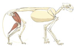 The crural triceps originate on the pelvis and femur and insert into the top of the knee cap. This is the equivalent of the quadriceps in the human. This bulky muscle makes a prominent bump at the front of the thigh.