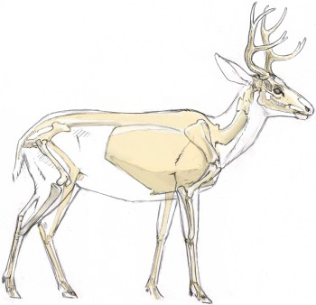 Deer skeleton showing unguligrade stance. Note the wrist and heel half way down the part of the legs that are exposed below the body.