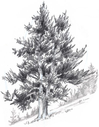 Pine Tree Pencil Drawing : pencil, drawing, Trees:, Conifers