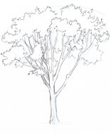 Add the foliage behind the branches and trunk. The overlap of leaf masses and branches suggests depth.