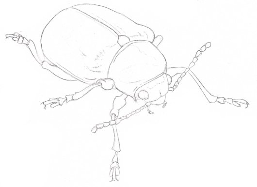 I began with a line drawing based on the photograph in BugGuide.net.