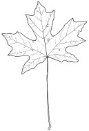big leaf maple_1