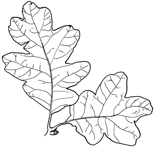 white oak_1