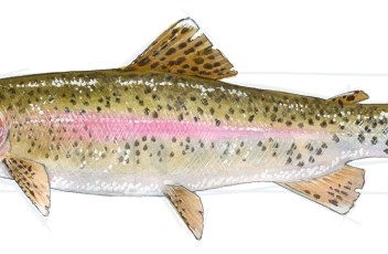 Rainbow Trout 36