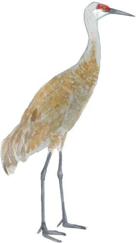 crane-sandhill-br