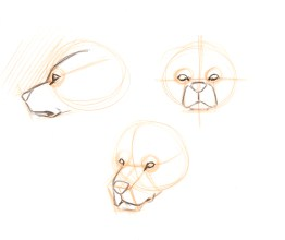 Place the eyes. Predators have forward facing eyes. That means from the front you see the front (almond) view of the eye. From the side, the side view. Form the 3/4 view you see an almond shape in the near eye, but look carefully at the far eye, it will have a rounded edge on the far side.