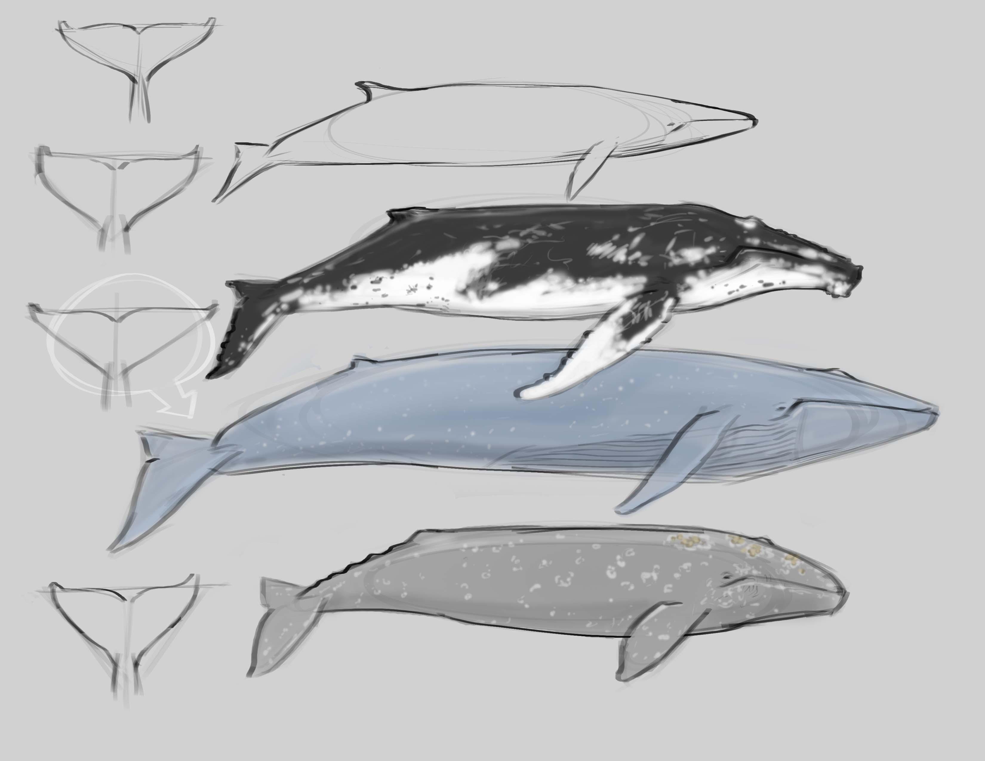 Whale Anatomy 1.13 - John Muir Laws