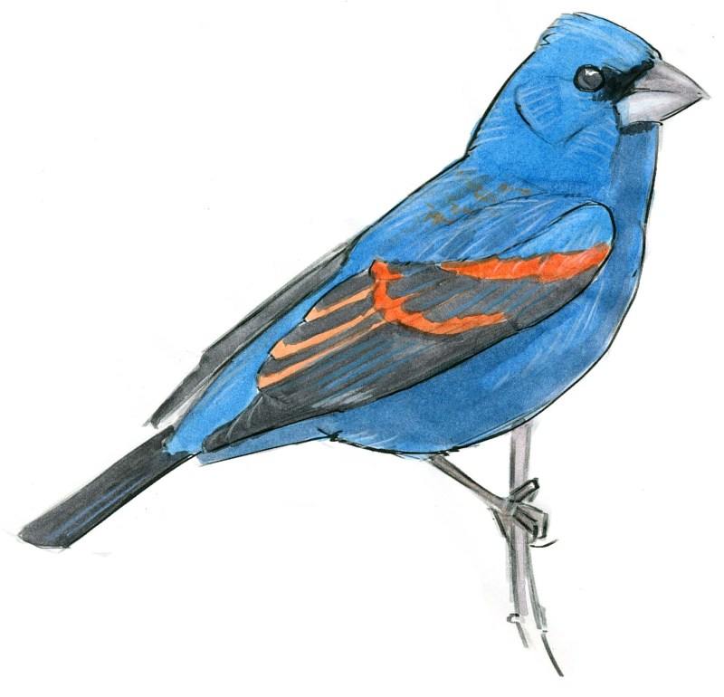 Blue Grosbeak & Watercolor Washes