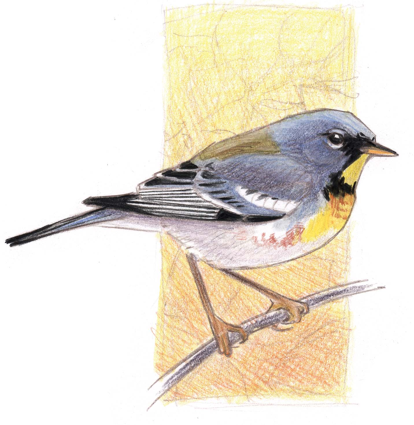 northern parula with watercolor pencils step by step john muir laws