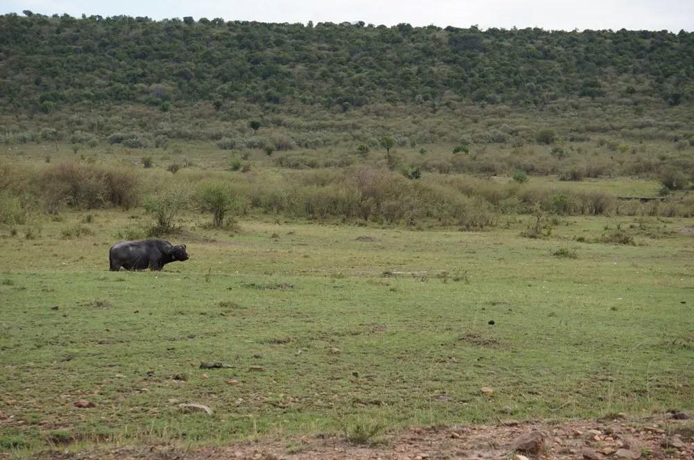 Huge buffalo chilling