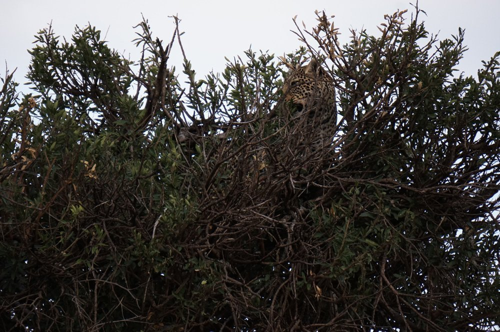 Leopard hiding in the trees.