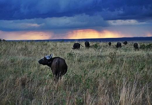 Masai Mara buffalo sunset