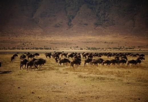 Ngorongoro Crater wildebeests