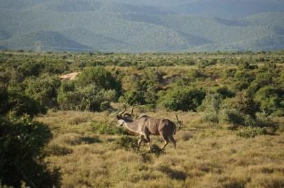 Kudu sighting!