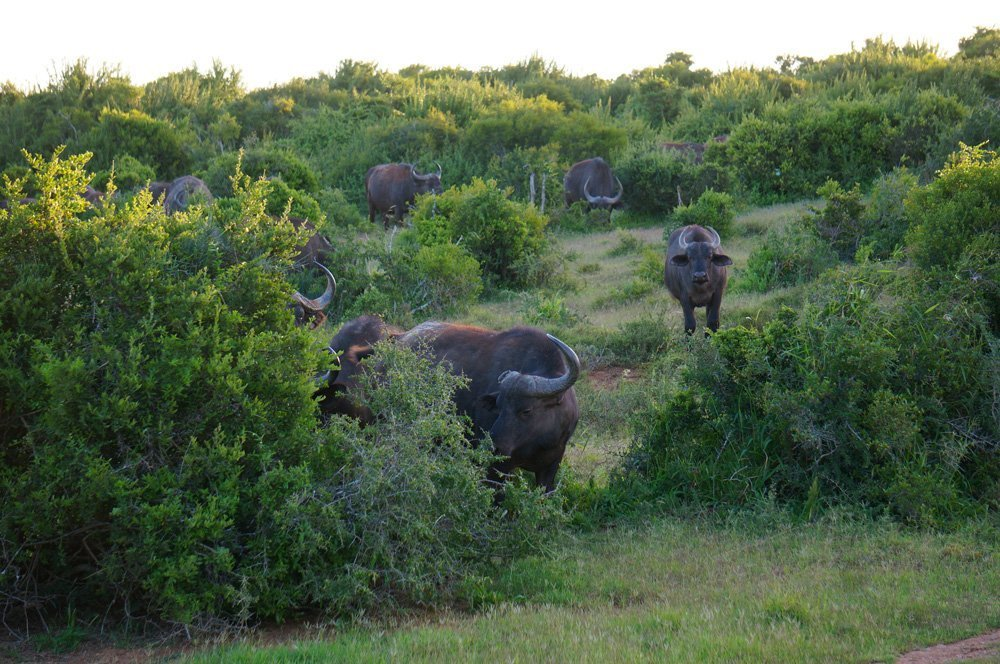 Cape Buffalo staring as us.