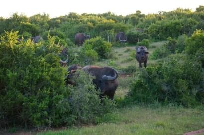Cape Buffalo staring as us.