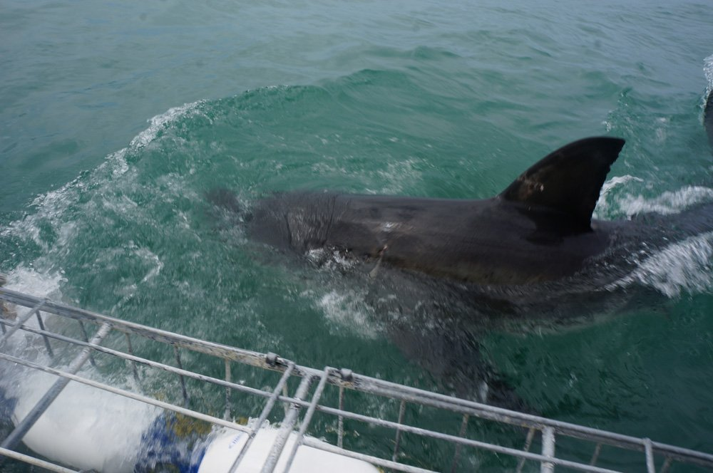 Great Whites Shark Cage Diving